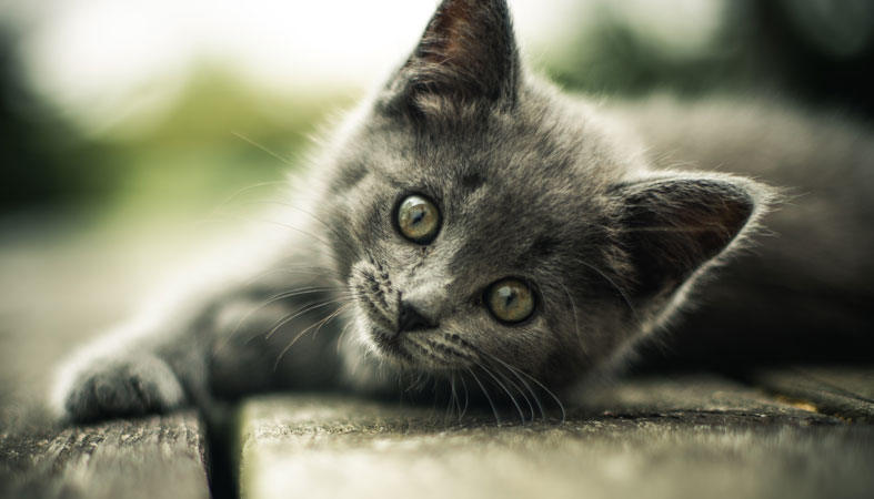 gray small cute cat