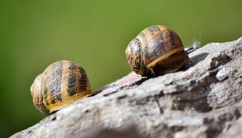 beautiful two snails on the rock