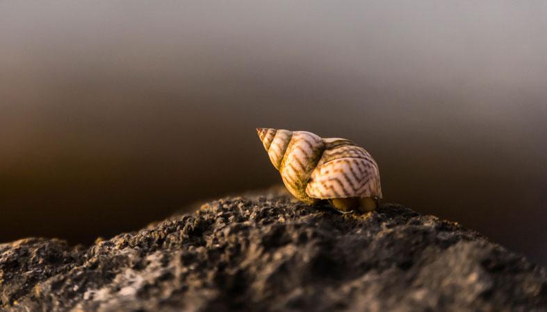 trumpet snail