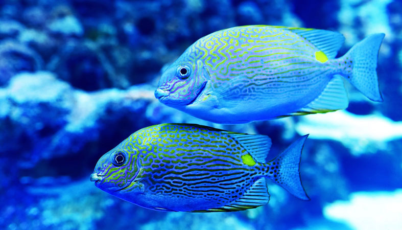 couple of blue yellow fish