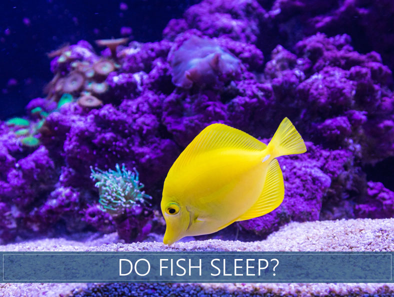 a yellow fish with purple coral reef in the background