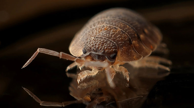Homemade Bed Bug Remedies - How to Repel and Get Rid of Them!