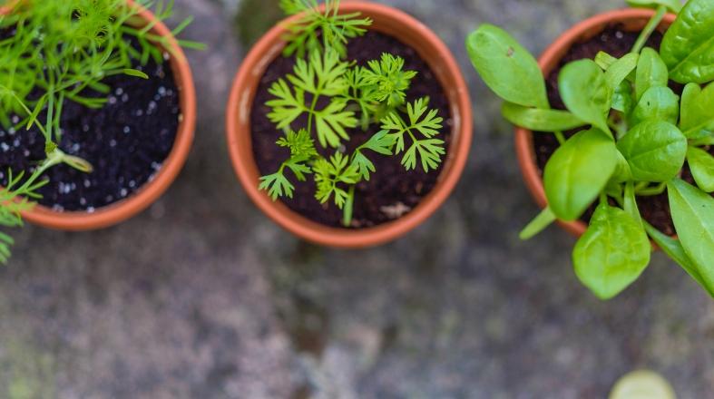 three green plants in the three pots