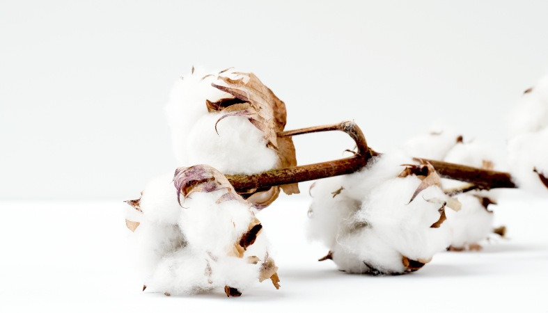 image of a cotton