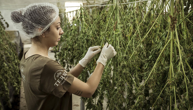 a woman is sorting cannabis