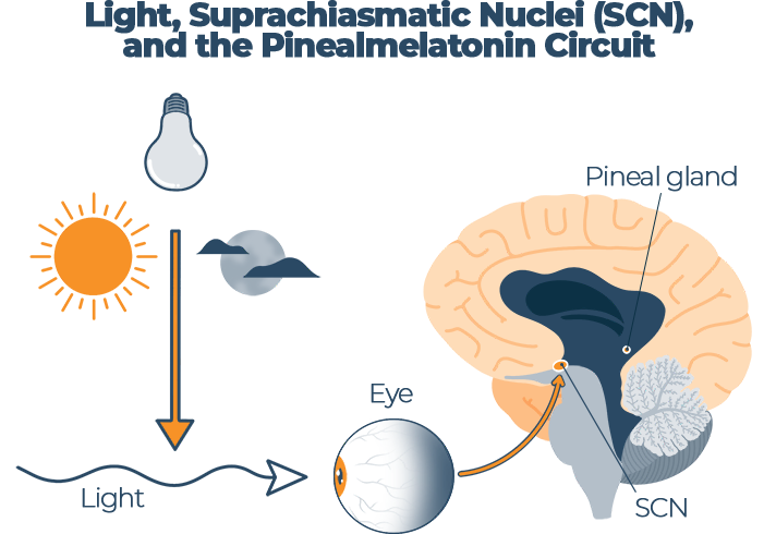 Light Suprachiasmatic Nuclei SCN and the Pinealmelatonin Circuit Infographic